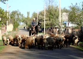 A Kygyz man herds sheep through his village